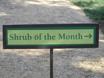 shrub of the month
